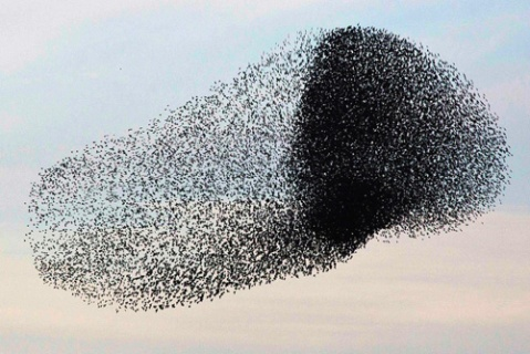 flock of starlings over israel 1-24-13