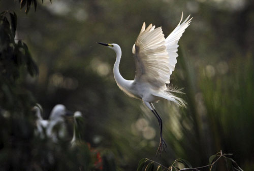 egrets india